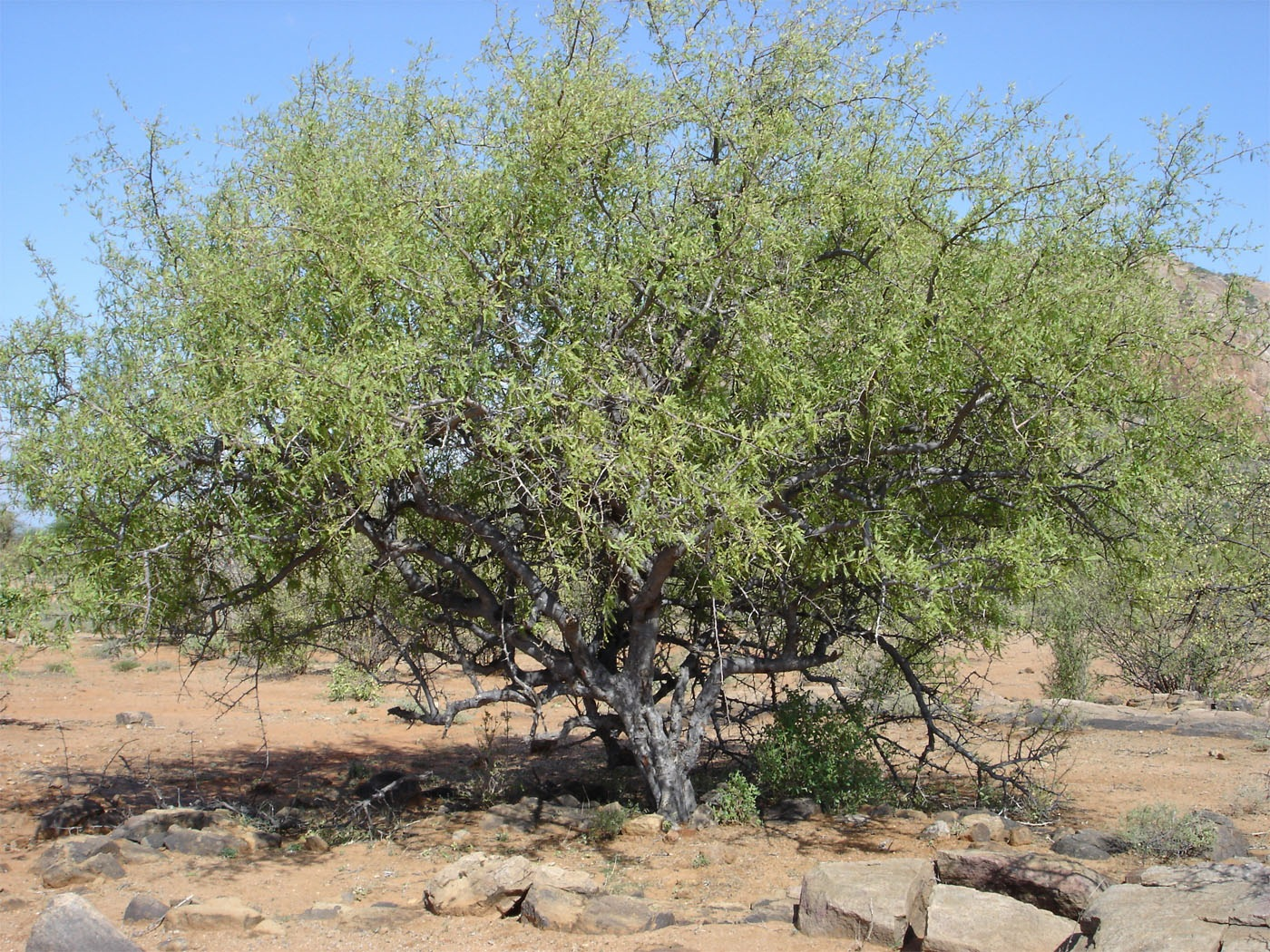 Boswellia-neglecta-Kenya