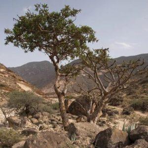 Boswellia-frereana -gum-tree
