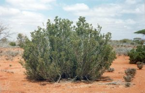 Cordeauxia edulis in Somalia - gums and resins